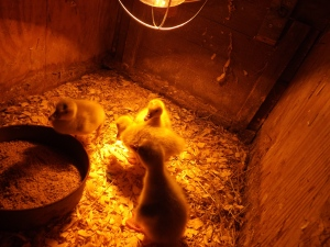Buff American Goslings 2014